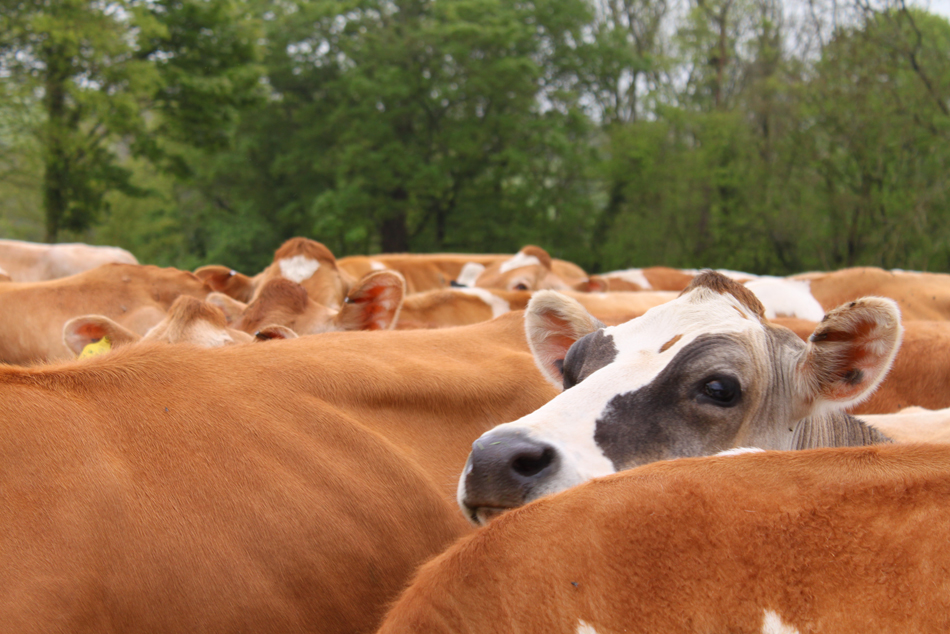 Brown Cow 2