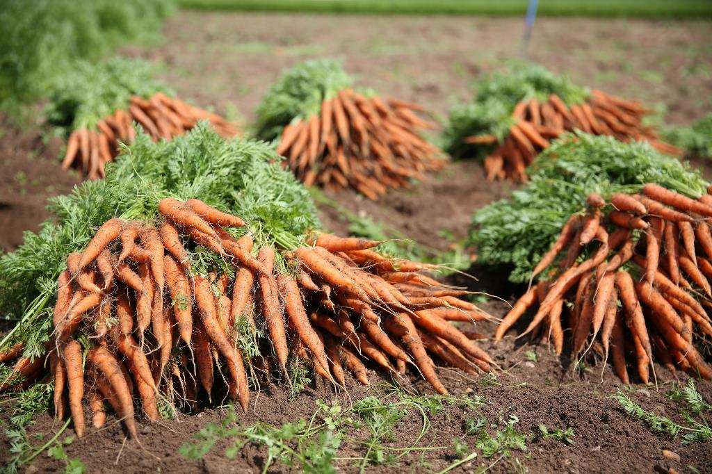 Foskett-James-Carrot-Crop