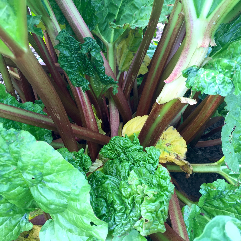 Organic rhubarb in the field