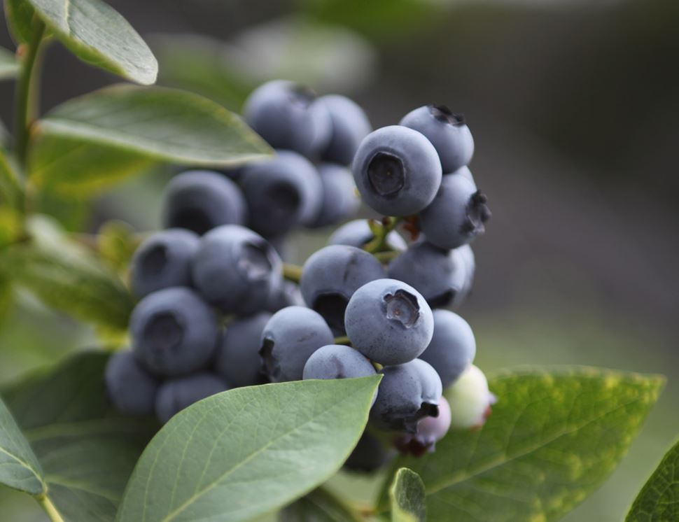 The Dorset Blueberry Company