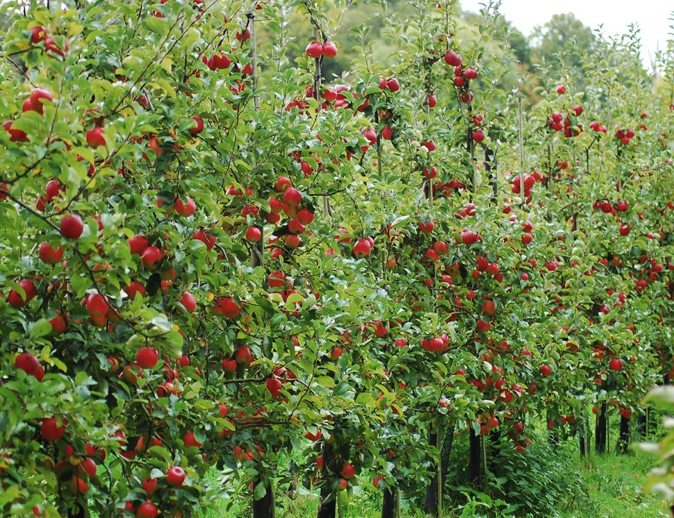 Apples For Juicing, Organic (5kg)