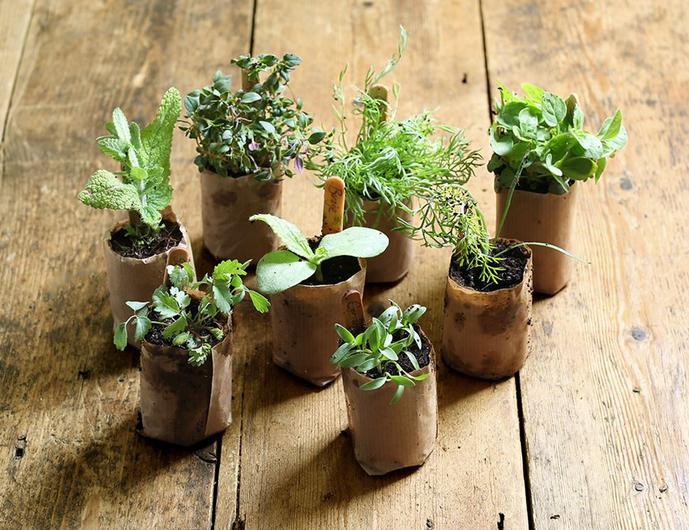 Orange Thyme Grow Your Own Now! 6 x Plug Plants